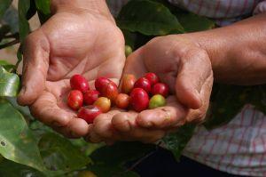 Coffee beans, Xalcuahutla, Puebla